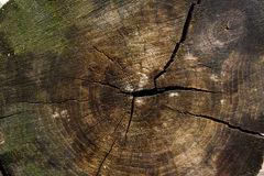 Wood texture of cutted tree trunk. Moss and fungus growing on th Stock Photography