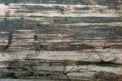 Wood texture of cutted tree trunk. Moss and fungus growing on th Royalty Free Stock Images