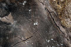 Wood texture of cutted tree trunk. Moss and fungus growing on th Royalty Free Stock Image