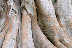 Wood texture of the intricate trunk of an old centennial giant ficus Royalty Free Stock Image