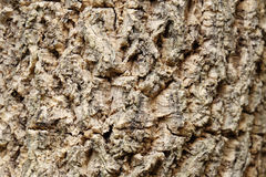 Wood texture of Millingtonia hortensis stalk tree (center of fra. Me is selected focus and have shadow mode Stock Image