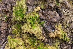 Wood texture with moss . The Wood texture with moss Royalty Free Stock Photos