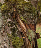Wood texture with moss Stock Photo