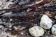 Wood Texture With Natural Pattern. The skin of the tree is long Royalty Free Stock Photography