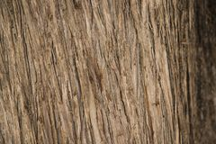 Wood texture of old dried tree. Royalty Free Stock Photo
