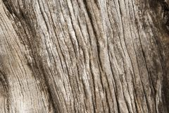 Wood texture of old  dried tree Stock Image