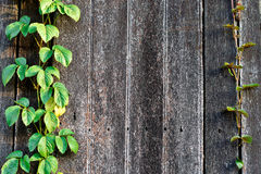 Wood texture. Wood plank wall texture with vine at the edge royalty free stock photography