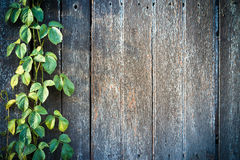 Wood texture. Wood plank wall texture with vine at the edge stock photography