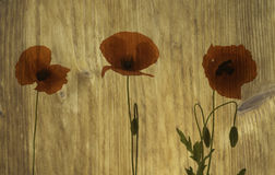 Wood texture with poppies Royalty Free Stock Image