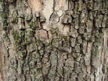 Wood texture. Tree bark for backgrounds and textures Royalty Free Stock Photos