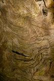 Wood Texture. Wooden texture of a very old tree root Stock Images