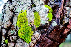 Wood textured with green moss Royalty Free Stock Photography