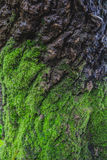 Wood textured with green moss Royalty Free Stock Photo