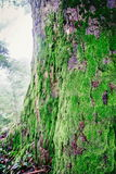 Wood textured with green moss Royalty Free Stock Image