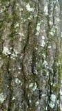 Wood texturträdskäll Arkivbild