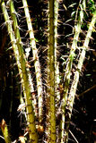 Wood with thorns. The trees in the mountains are spiny, naturally growing Royalty Free Stock Photo
