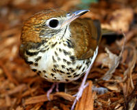 Wood Thrush Royalty Free Stock Images