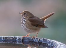 Wood thrush on bird bath. A Wood Thrush perched on a bird bath with dramatic back lighting Royalty Free Stock Photos