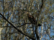 Wood thrush bird sitting on a branch Royalty Free Stock Photography