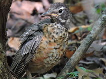 Wood thrush furrows for food woods Royalty Free Stock Images