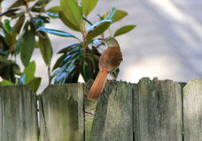 Wood Thrush (Hylocichla mustelina) Stock Photo