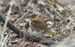 Wood thrush Stock Photos
