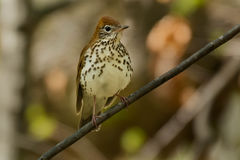 Wood Thrush Royalty Free Stock Photo