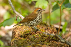 Wood Thrush Royalty Free Stock Photography