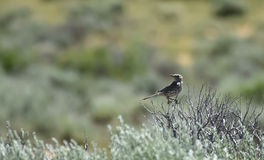 Wood Thrush In Sagebrush. In Northwest Colorado Stock Images