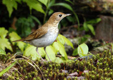 Wood Thrush in Spring Stock Photos