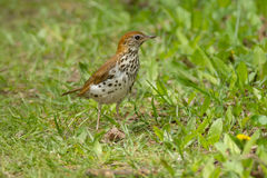 Wood Thrush Royalty Free Stock Photos