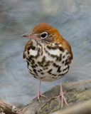 Wood Thrush stands by babbling brook Stock Photography