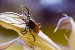 The castor bean tick (Ixodes ricinus) Stock Image