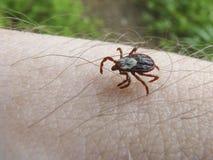 Wood tick. Kaniksu National Forest, ID Stock Photos