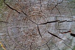 Wood tillväxtcirklar Arkivfoton