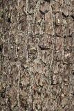 Wood träd för gammalt skäll i natur royaltyfri bild