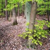 Wood träd i vår Arkivbild