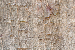 Wood tree background. Brown Tree bark on background Royalty Free Stock Photography