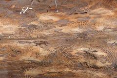 Wood trunk bark beetle texture Stock Photography