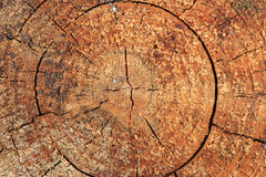Wood trunk texture Stock Photography