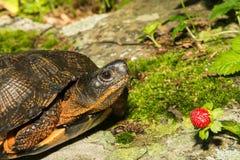 Wood Turtle Royalty Free Stock Image