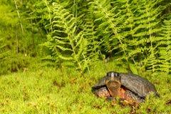 Wood Turtle Royalty Free Stock Photos