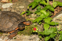 Wood Turtle Royalty Free Stock Photography