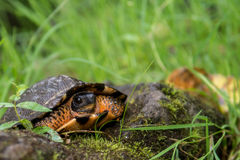 Wood Turtle. A Wood Turtle crawling out of the water on river stones Stock Photography