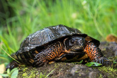 Wood Turtle. A Wood Turtle crawling out of the water on river stones Stock Images