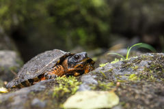 Wood Turtle. A Wood Turtle crawling out of the water on river stones Stock Photos