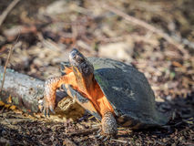 Wood Turtle Crawling over Stick Stock Photo