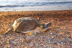 Wood Turtle (Glyptemys insculpta) Stock Image