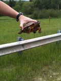 Wood Turtle. I stopped to help this wood turtle cross the road Royalty Free Stock Photo