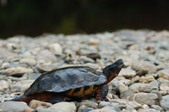 Wood turtle on river stones Royalty Free Stock Image